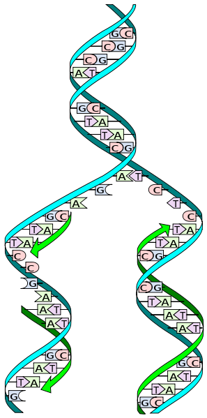 DNA_replication_split.svg