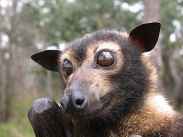 flying-fox-face-athertonw