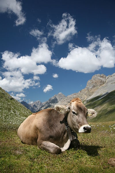 400px-CH_cow_2