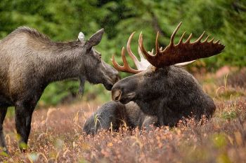 Moose_animal_pair_bull_and_cow_moose