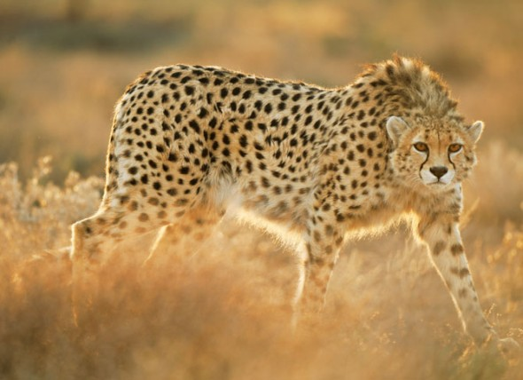 03-koshki-rescued-asiatic-cheetah-670-590x428