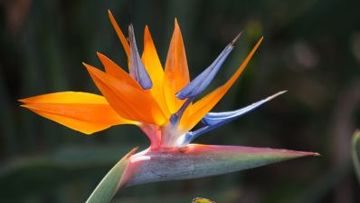 800px-Bird_of_Paradise_-_what_a_lovely_flower!_(8017323665)