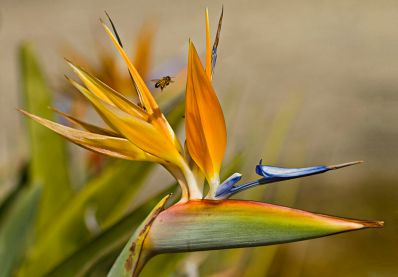 800px-Bird_of_Paradise_(6890997859)