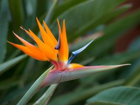 Bird_of_Paradise_flower_in_the_grounds_at_Cordial_Mogán_Playa